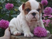 male and female English bulldogs for free adoption